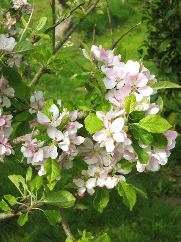 Apple-blossom-opti.jpg